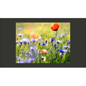 Fototapetai - A meadow with a poppy among bluets