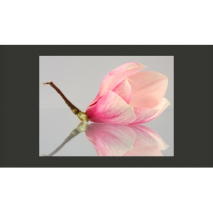 Fototapetai - A lonely magnolia flower